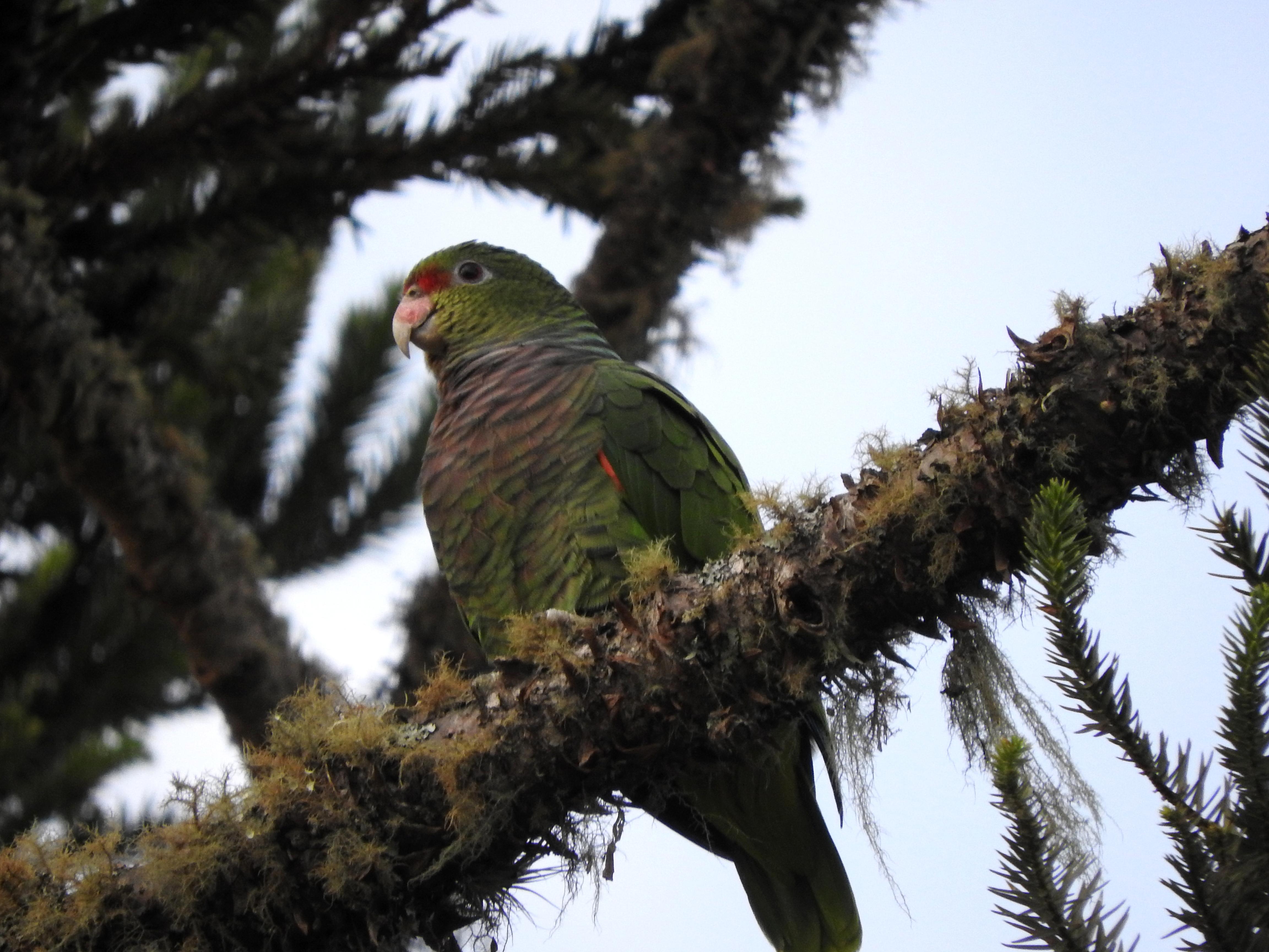 04-papagaio-de-peito-roxo-amazona-vinacea-foto-de-andriele-rizzi-dscn2160