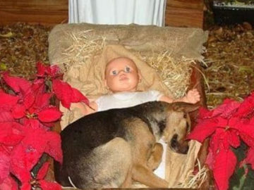 Cão abandonado se conforta dentro de presépio em Criciúma (SC) e comove público que o adota 1