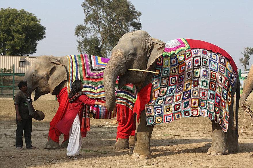 Voluntários tricotam suéteres para proteger do frio elefantes resgatados 4