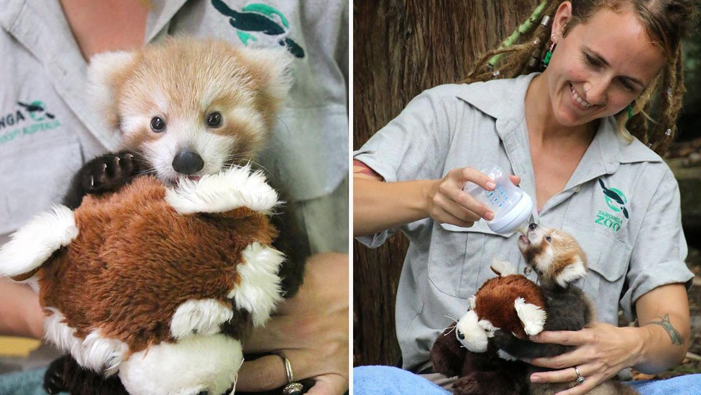 Filhote de panda vermelho não para de abraçar seu bichinho de pelúcia igual a ele 1