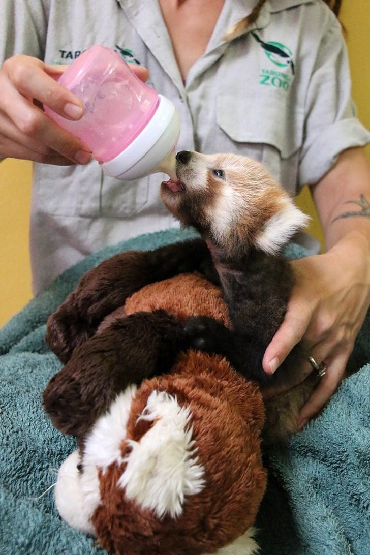 Filhote de panda vermelho não para de abraçar seu bichinho de pelúcia igual a ele 2