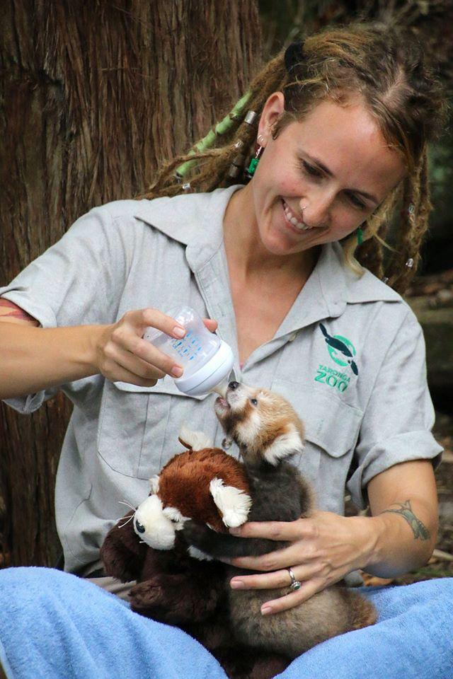 Filhote de panda vermelho não para de abraçar seu bichinho de pelúcia igual a ele 3