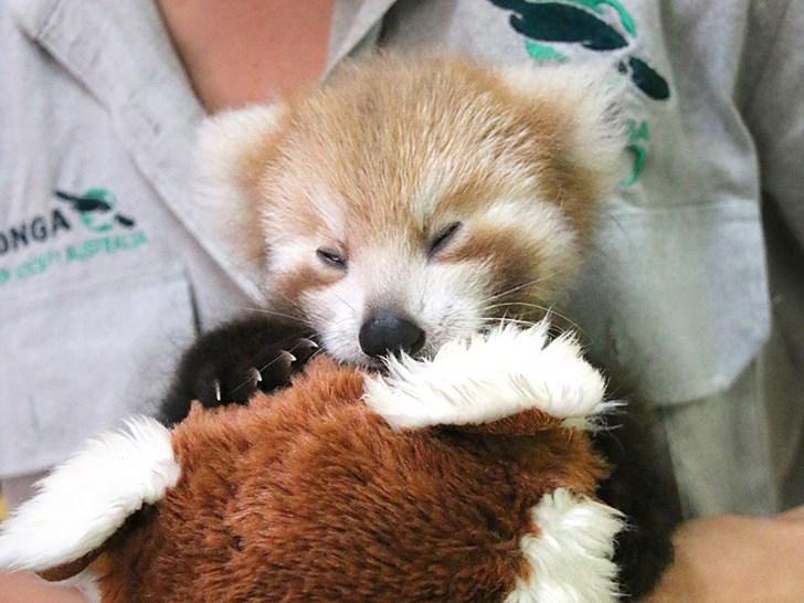 Filhote de panda vermelho não para de abraçar seu bichinho de pelúcia igual a ele 4