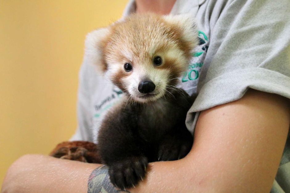 Filhote de panda vermelho não para de abraçar seu bichinho de pelúcia igual a ele 6