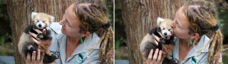 Filhote de panda vermelho não para de abraçar seu bichinho de pelúcia igual a ele 7