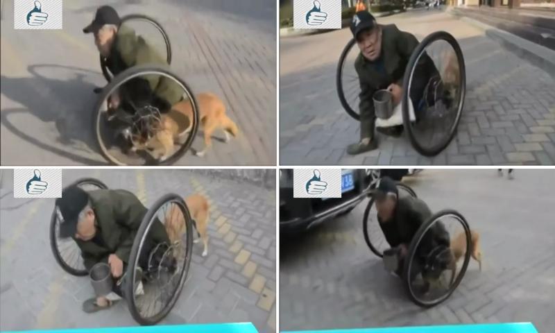 Cão empurra todos os dias a cadeira de rodas do seu dono com deficiência 3