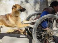 cão empurra a cadeira de rodas do dono