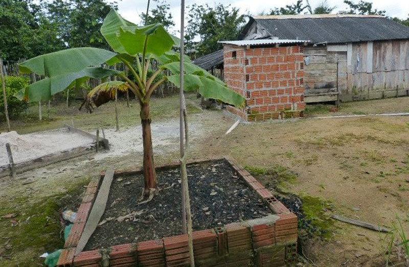 bananneiras no Amazonas