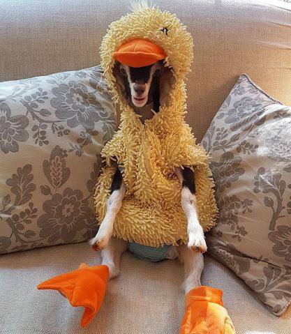 Cabra que sofre de ansiedade só fica calma com fantasia de pato 5
