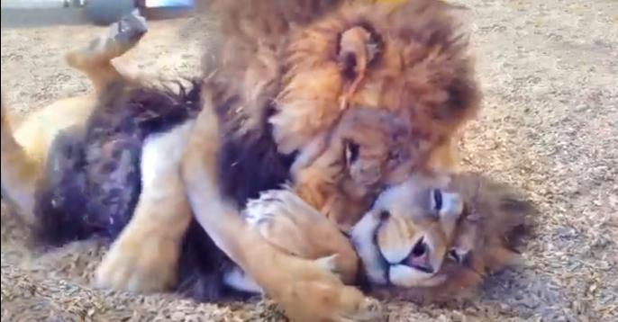 leões resgatados lions rescued
