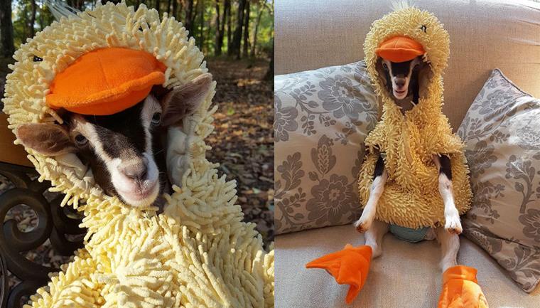cabra com fantasia de pato