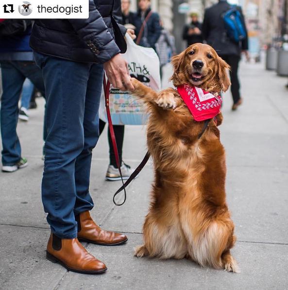 Cão distribui abraços e alivia estresse de pessoas nas ruas de Nova York 3