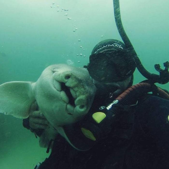 Há sete anos, tubarão implora por abraço de mergulhador todas as vezes que o vê 3
