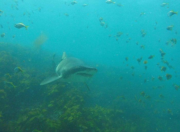Há sete anos, tubarão implora por abraço de mergulhador todas as vezes que o vê 8