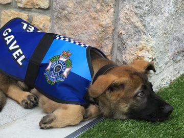 Cãozinho é reprovado em treinamentos da polícia por ser 'dócil demais' 2