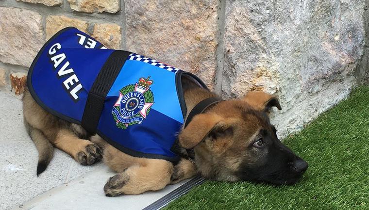 Cãozinho é reprovado em treinamentos da polícia por ser 'dócil demais' 14