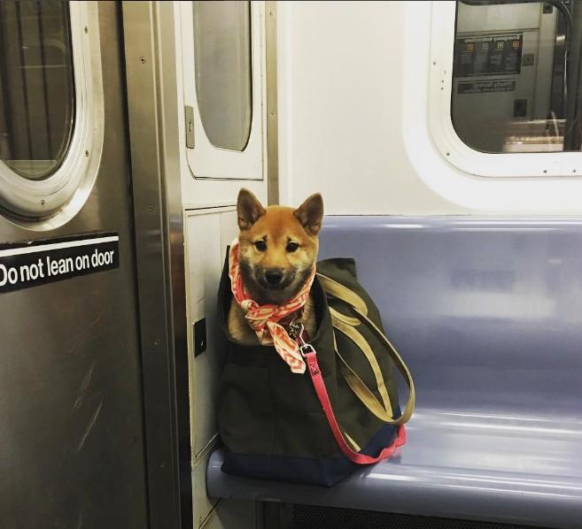 Nova-iorquinos 'burlam' proibição de cães no metrô com ideia genial 3