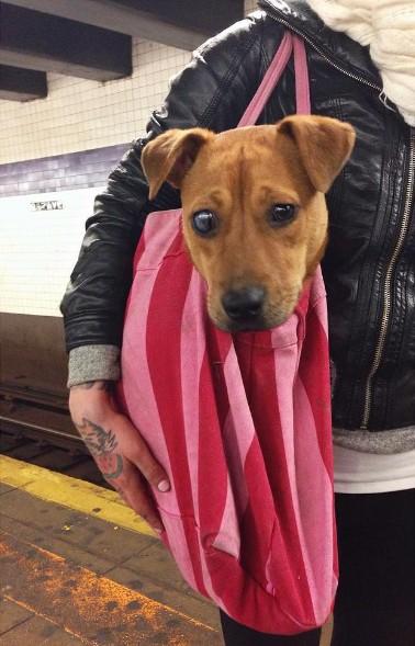 Nova-iorquinos 'burlam' proibição de cães no metrô com ideia genial 9
