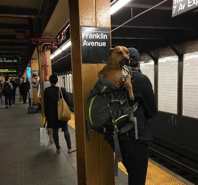 Nova-iorquinos 'burlam' proibição de cães no metrô com ideia genial 10