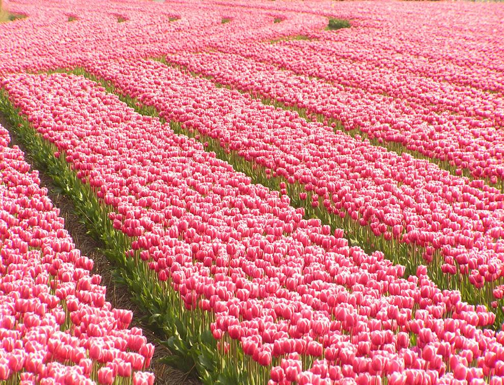 Desde 1945 Holanda envia ao Canadá milhares de tulipas em forma de agradecimento 1