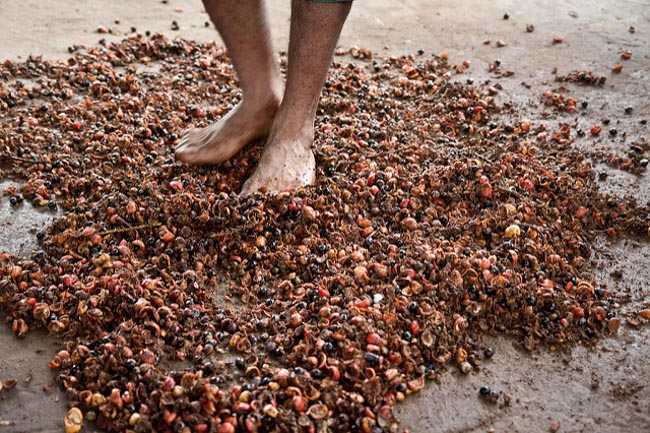 Cidade do Amazonas é referência em sustentabilidade no cultivo de guaraná 4
