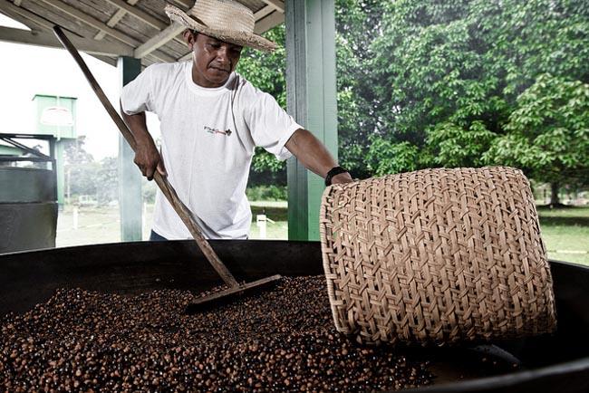 Cidade do Amazonas é referência em sustentabilidade no cultivo de guaraná 2