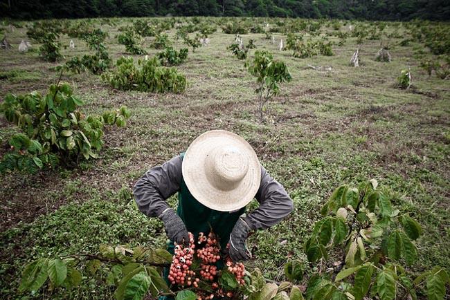 Cidade do Amazonas é referência em sustentabilidade no cultivo de guaraná 1
