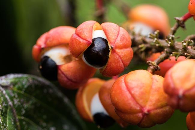 Cidade do Amazonas é referência em sustentabilidade no cultivo de guaraná 5
