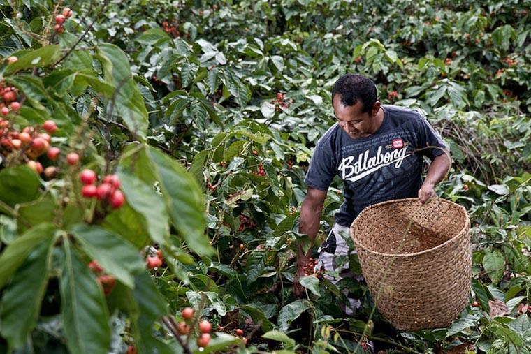 cultivo de guaraná