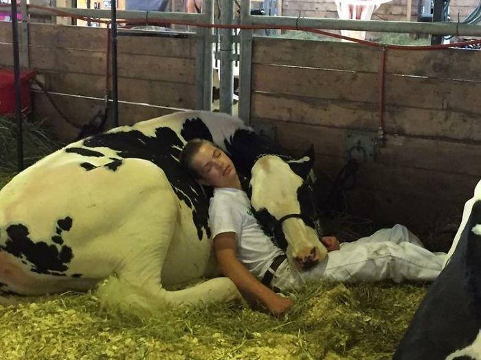 Depois de perder concurso, garoto e sua vaca dormem de cansaço e ganham a internet 2