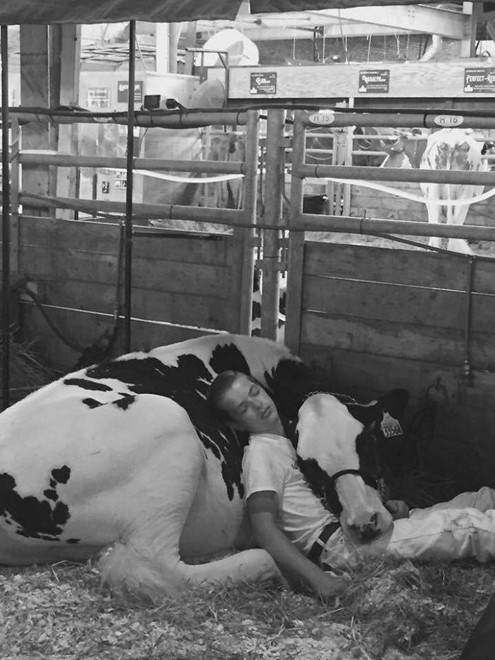 Depois de perder concurso, garoto e sua vaca dormem de cansaço e ganham a internet 3