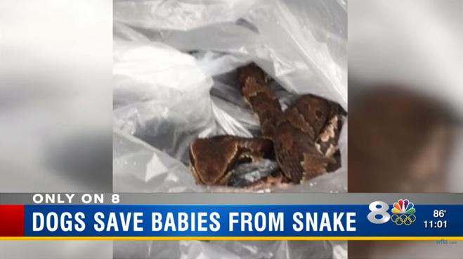 Pit bulls salvam crianças de ataque de cobra venenosa 1
