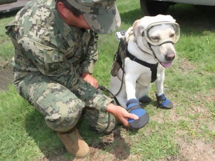 Salva-vidas: Labradora já resgatou 52 vítimas do terremoto no México 2