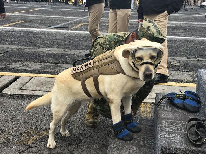 Salva-vidas: Labradora já resgatou 52 vítimas do terremoto no México 1