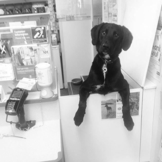 Cachorro trabalha nos Correios com uma função muito importante: lambedor oficial de selos! 4