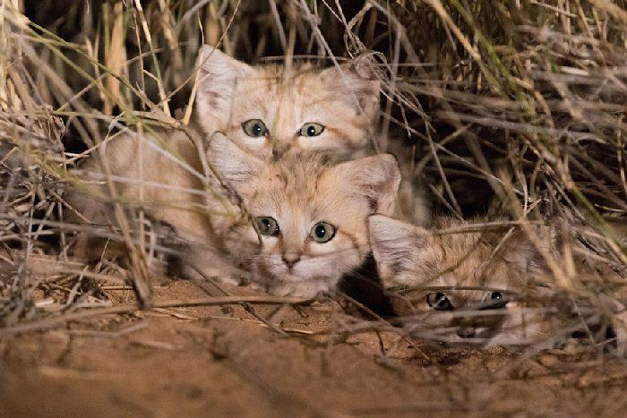 Gatos de areia foram fotografados pela primeira vez e não estamos sabendo lidar 6