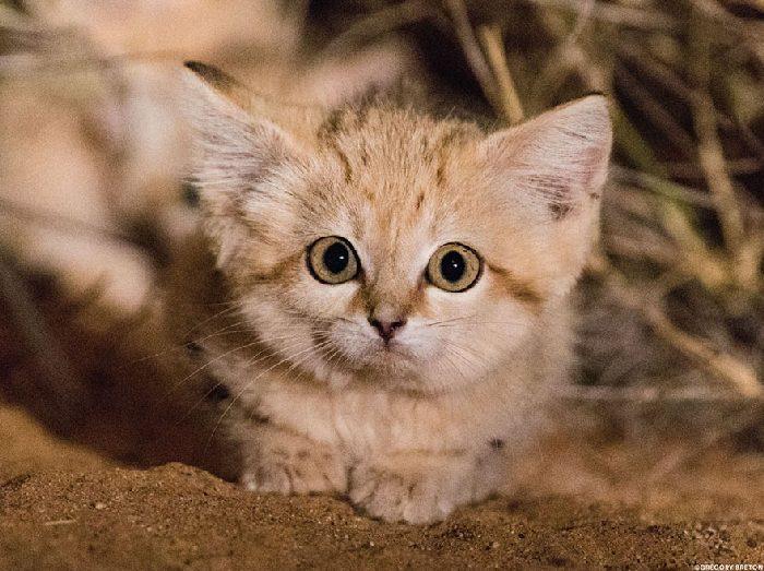Gatos de areia foram fotografados pela primeira vez e não estamos sabendo lidar 4