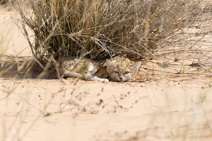 Gatos de areia foram fotografados pela primeira vez e não estamos sabendo lidar 7