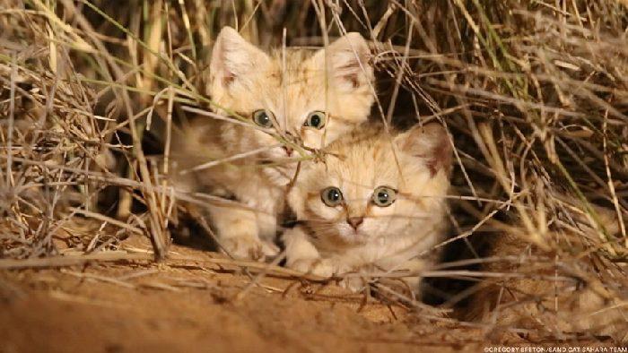 Gatos de areia foram fotografados pela primeira vez e não estamos sabendo lidar 3