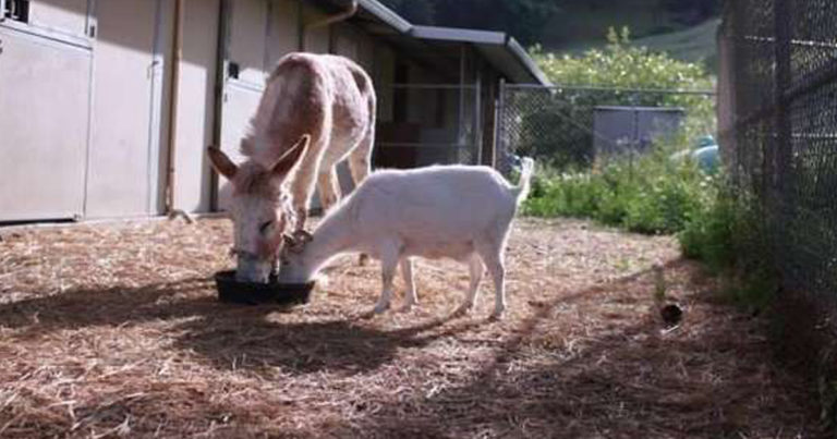 Cabra se recusa a comer depois de ter sido separada de seu melhor amigo, um burro 1