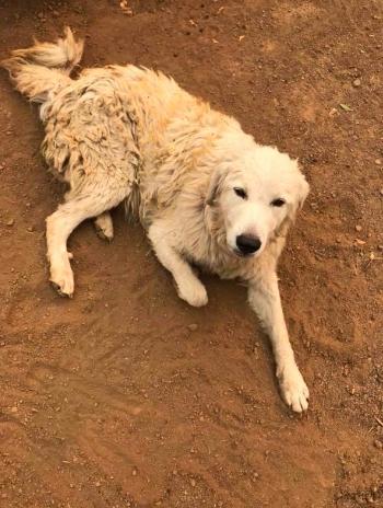 Cachorro vira herói ao se recusar a deixar cabras sozinhas em incêndio 2