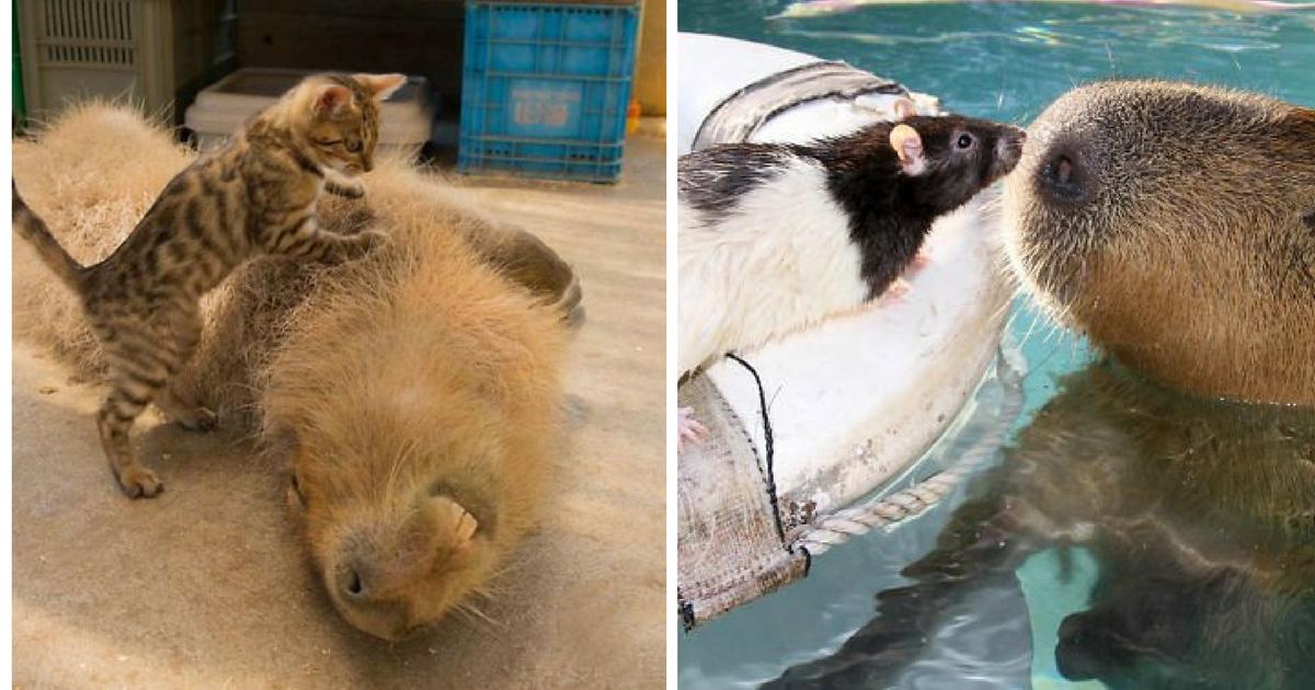 Descubra por que a capivara é a melhor amiga do reino animal 1