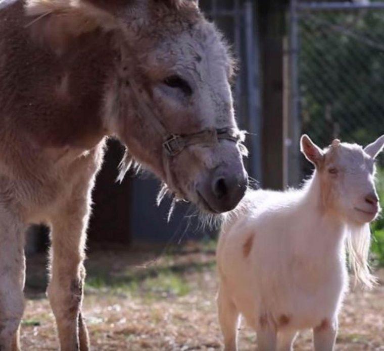 Cabra se recusa a comer depois de ter sido separada de seu melhor amigo, um burro 5