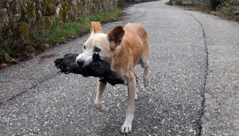 Cachorra carrega corpo de cria carbonizado em incêndio na Espanha para enterrá-lo 1