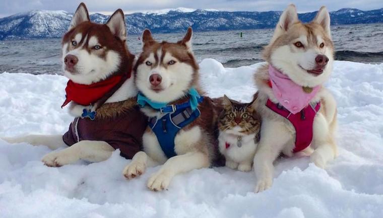 Excesso de fofura: gata resgatada vira a melhor amiga de três Huskies 1