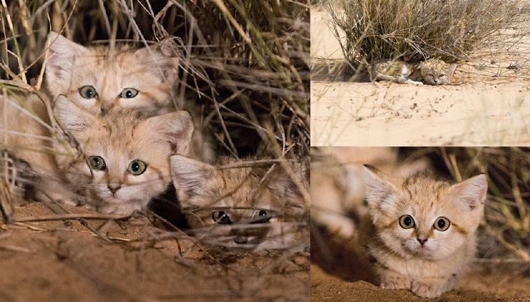 Gatos de areia foram fotografados pela primeira vez e não estamos sabendo lidar 8