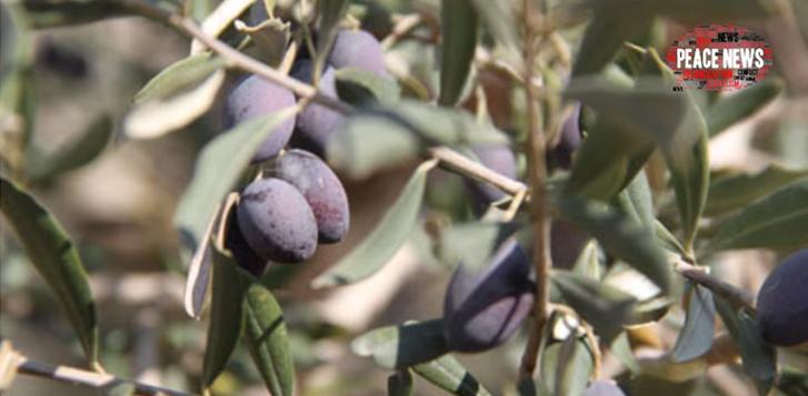 Israelenses e palestinos encontram na produção de azeite de oliva um caminho para a paz 2