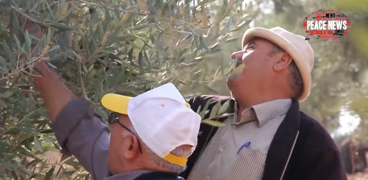 Israelenses e palestinos encontram na produção de azeite de oliva um caminho para a paz 3