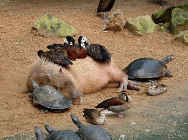 Descubra por que a capivara é a melhor amiga do reino animal 2