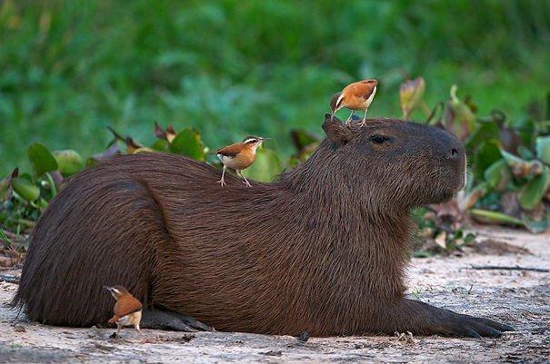 Descubra por que a capivara é a melhor amiga do reino animal 15